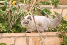 للبيع قطة شيرازية هملايا انثى
