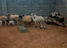 خروف هجين