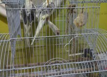 parrot pair cocktail  for sale with cage