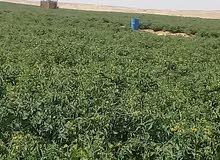 مزرعه 145فدان بقريه الناصريه عياط جيزه