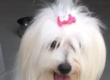 كلب كوتون اصلي ابيض نادر جميل