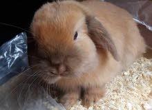 للبيع اجواز ارانب هولندي كميه