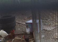 دجاج عماني