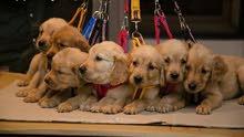 للبيع كلاب جولدن بصحه ممتازه