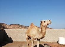 بعير عماني