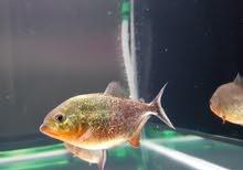 سمك بيرانا piranha الشرس