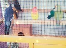 طيور واقفاص للبيع موقعي الرميس بركاء مقابل مول بوابة بركاء