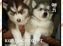 Siberian Husky Puppies Blue Eyes  are searching for new homes