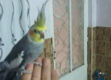 طير كوكتيل