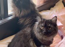 Pure Persian Cats