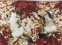قطتين. ذكر وانثى. تايغر