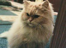 قطط فارسيات