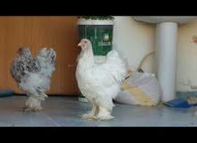 دجاج براهما سبلاش فاخر