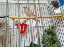 طيور زيبرا مع فراخ