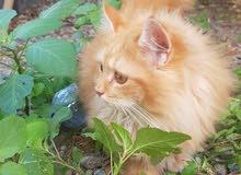 قط شيرازي جميل وتربية بيت نظيف ب 30ريال