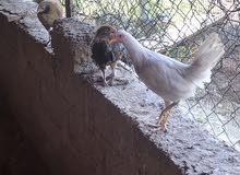 دجاج عماني محلي جاهز للذبح وللتربية