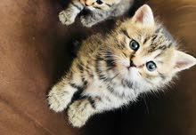 قطط شيرازي و بومباي