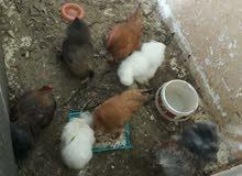 دجاج للبيع قطني 3 دجاجت وديج و2دجاج مضربات براهاما