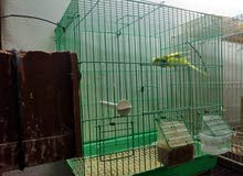 Budgie pair for sale with 2eggs!!!