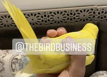 Red eyed yellow Ringneck chick, flies to hand, very friendly