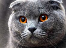 NOT SELLING IM llooking for a female scottish fold cat or british straight