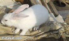 4 أرانب عشر + أرنب ذكر حجم كبير للبيع على وشك الولادة