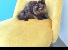 قطة للبيع عمرها 6 شهر آنثى