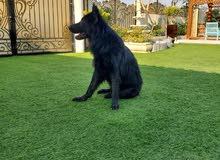 استمارة البيع الكلاب المميزه  *【】* النوع:  ولف دوق لونج هير  *【】