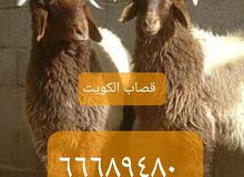 قصاب الكويت  ذبايح للبيع