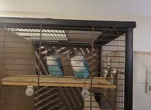 one pair personata breeder twice 350 aed