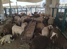 کبش نعیمی صغیر السعر مناسب 950 Sheep Naimi for Zabha