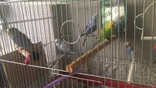 طيور حب بصحه ممتازة للبيع بسعر 50 دينار عددهم 8