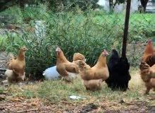 للبيع ازواج دجاج كوشن العملاق منتجه