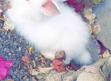 زوج ارانب هولندي