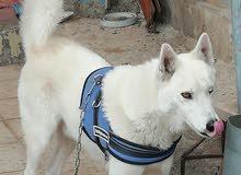 كلب هاسكي للبيع ماخد جميع المطعيم شرس عالغريب