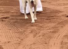 البيع كلب هاسكي مالموت بيور