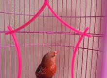 لهواة التميز والطيور النادرة زوج عصافير الفراولة حمراء الريش شغالين للتكاثر