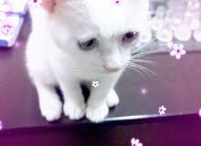 قطه شيرازي عمر 3 شهور