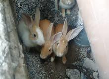 أرانب ذكور العدد 4 مطلوب للارنب الواحد 3.500