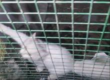 للبيع قطط شيرزيات 3ذكور واحد أنثى    العدد 4 الرجاء التواصل على الواتس 99199095
