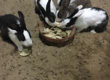 للبيع أرانب محلية