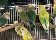 زوج لوفبيرد اخضر /  LOVEBIRD GREEN PARROT – PAIR