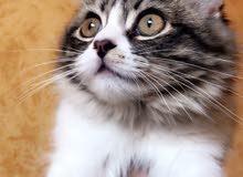 قطة اب هيمالايا والام شيرازي