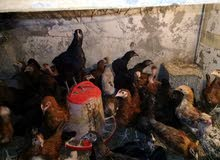 دجاج عربي العمر  4شهور