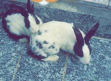 زوج ارانب للبيع ب15 الف