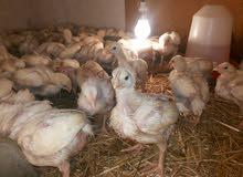فلوس دجاج ساسو سريع نمو