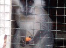 زوز القرود للبيع