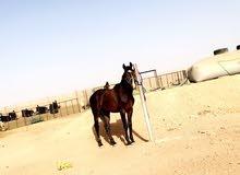 حصان انقليزي