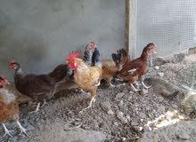 6 دجاجات عربيات و فروج للبيع المكان طرابلس 0925184098