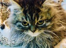 قطة كاليكو العمر شهرين ونص